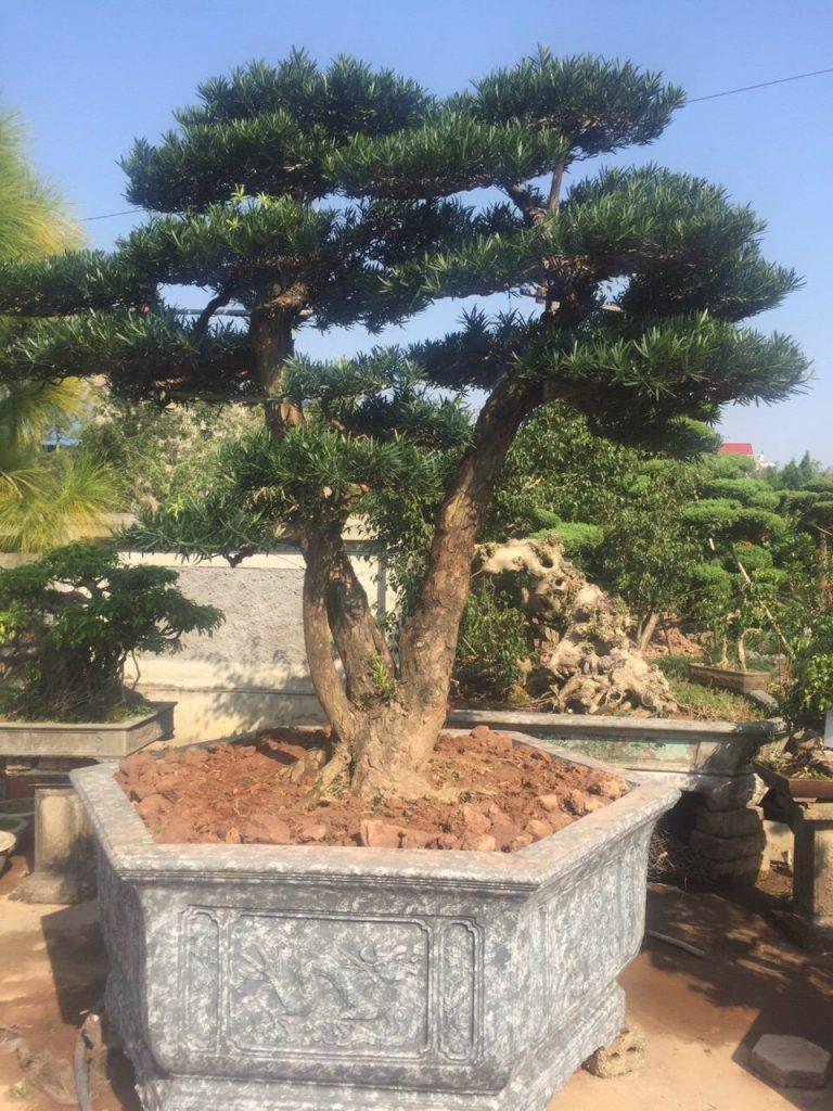 Cây thông, cây tùng thể hiện được sự kết hợp với đất trời